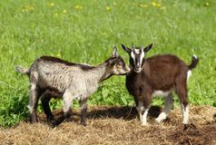 Little goats Royalty Free Stock Photography