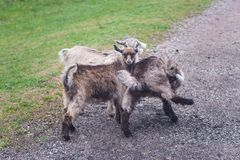 Little goats in the meadow, spring. Rural cattle stock photos