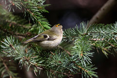 A little goldcrest Royalty Free Stock Photography