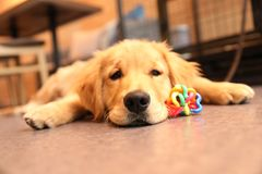 Little golden retriever. With the Little golden retriever in the coffee shop stock photography
