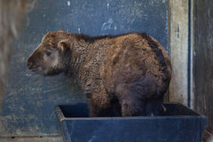 Little Golden takin (Budorcas taxicolor bedfordi). Royalty Free Stock Photos