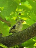 A little goldfinch fledgling. European goldfinch chick, Carduelis carduelis, against the background of green leaves, ready to leave the nest Royalty Free Stock Photo