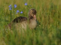 Little Goose. This is a little goose in the meadow Stock Photos