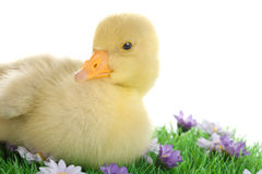 Little goose baby Royalty Free Stock Photo