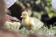 Little goose baby Stock Photos