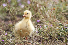 Little goose baby Stock Photo