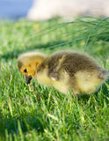 Little goose is eating the grass Stock Photo