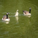 Little goose in the water with two parents Stock Photography