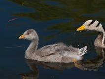 Little gosling Royalty Free Stock Photos
