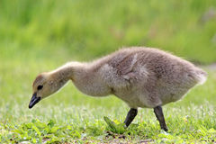 Little Gosling. A little Canada Goose gosling (Branta canadensis) walking in a meadow Stock Images