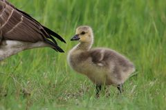 Little Gosling Following Mother Goose Stock Photos