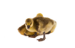 Little gosling isolated Stock Photos