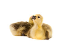Little gosling isolated Royalty Free Stock Image
