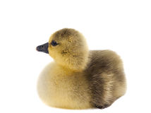 Little gosling isolated Stock Photography