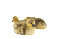Little gosling isolated Stock Image