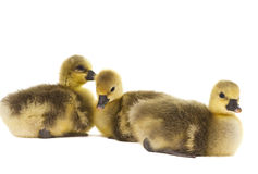 Little gosling isolated Royalty Free Stock Photography