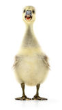 Little gosling isolated. Little grey gosling on white background Royalty Free Stock Photo
