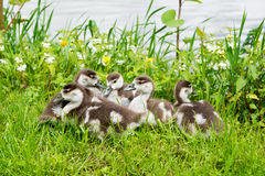 Little gosling resting on the green grass near the river Royalty Free Stock Photo