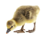 Little gosling. On a white background Stock Photo