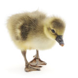 Little gosling Royalty Free Stock Images