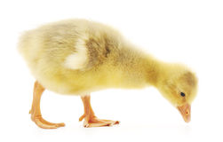 Little gosling Royalty Free Stock Photography