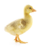 Little gosling Royalty Free Stock Photo