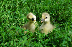 The little goslings Stock Images