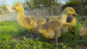 Little goslings eating grass on traditional free range poultry farm stock video