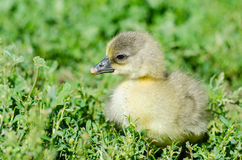 Little goslings grazing in the field Royalty Free Stock Photos