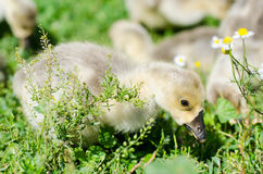 Little goslings grazing in the field Royalty Free Stock Images