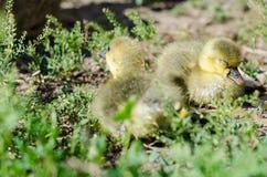 Little goslings grazing in the field Stock Photo