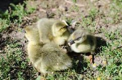 Little goslings grazing in the field Stock Image