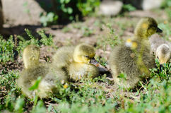 Little goslings grazing in the field Stock Photography