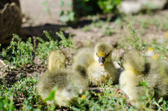 Little goslings grazing in the field Stock Photos