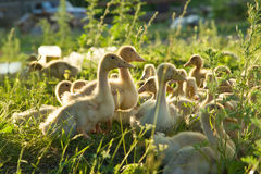 Little goslings Stock Photo