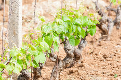 Little grapevine grow up Royalty Free Stock Image