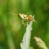Little grasshopper Stock Photos