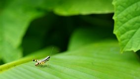 Little grasshopper on the banana leaf stock footage