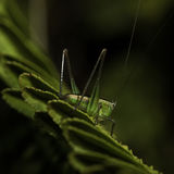 The little grasshopper. Royalty Free Stock Photos