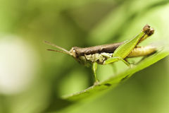 Little grasshopper Stock Images