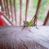Little Grasshopper royalty free stock photos