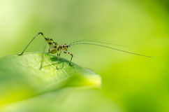Little grasshopper Royalty Free Stock Images