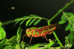 Little grasshopper reveal on a green leaf Stock Images