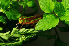 Little grasshopper reveal on a green leaf Stock Photography