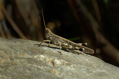 Little grasshopper sitting on stone Stock Photos