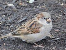 Little gray bird portrait royalty free stock image