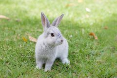 Little gray bunny rabbit sitting on green grass. Looking at the camera Stock Image
