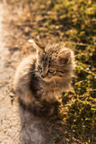 Little gray cat near the grass. Gray fluffy kitten sitting on the ground next to the grass without looking at the camera. Backlight at morning, close-up Royalty Free Stock Image