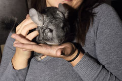 Little gray Chinchilla on hands. Pet Stock Photo