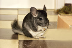 The Little gray chinchilla in house Royalty Free Stock Photo